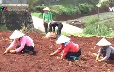 Đà Lạt gieo trồng hơn 2.200 ha giống rau, củ phục vụ thị trường Tết