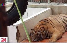 Nhiều khó khăn và vất vả trong giải cứu động vật hoang dã