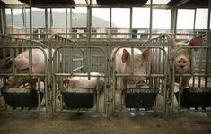 Trung Quốc khôi phục sản lượng thịt lợn trong 3 năm tới