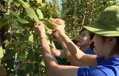 Huy động lực lượng giúp dân thu hoạch tiêu