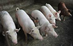 Việt Nam công bố dịch tả lợn châu Phi