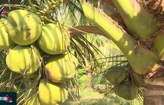 Làm giàu từ vườn dừa sáp lớn nhất tỉnh Trà Vinh