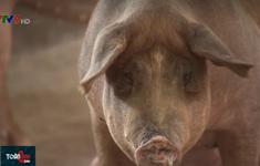Liên tiếp phát hiện nhiều ổ dịch tả lợn châu Phi tại ĐBSCL