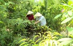 Vườn thuốc nam nghĩa tình tại Tây Ninh