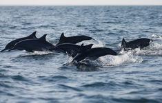 Đàn cá heo hàng trăm con chạy đua theo tàu ngoài khơi California, Mỹ