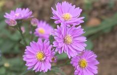 Bâng khuâng đồi hoa thạch thảo