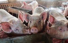 Dịch tả lợn châu Phi lây lan tại Lào