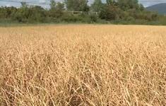 Hơn 3.000 ha cây trồng tại Đăk Lăk bị hạn cục bộ
