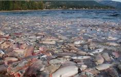 Cá hồi Alaska chết hàng loạt vì biến đổi khí hậu