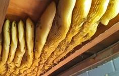 Di chuyển tổ ong khổng lồ 50kg ra khỏi trần nhà