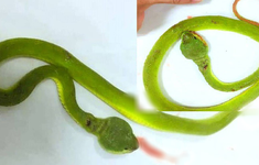 Bé trai 27 tháng bị rắn lục bò vào nhà cắn
