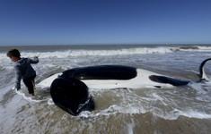 Giải cứu đàn cá voi dạt vào bờ biển Argentina