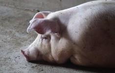 Hàn Quốc phát hiện ổ dịch tả lợn châu Phi đầu tiên