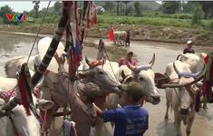 Sự kiện đua bò, cấy mạ đặc sắc ở vùng Bảy Núi