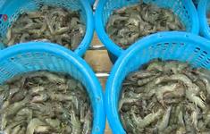 Đánh mã số ao nuôi, nâng cao giá trị và sức cạnh tranh của tôm Việt
