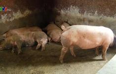 Nguy cơ bùng phát lại dịch tả lợn châu Phi