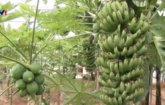 Hàn Quốc phát triển cây ăn quả nhiệt đới