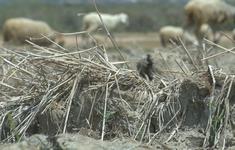 Khan hiếm thức ăn cho gia súc mùa hạn hán