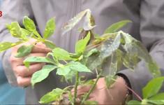 Thừa Thiên - Huế xử lý 1.000 ha sắn bị nhiễm bệnh