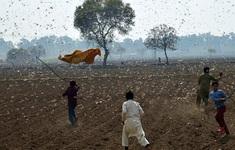 Trung Quốc đối mặt với khủng hoảng an ninh lương thực vì châu chấu sa mạc