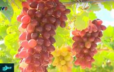 Nhân rộng mô hình trồng giống nho NH 01 - 152 có giá trị kinh tế cao