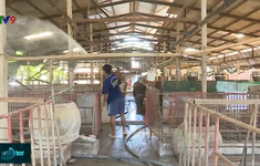Không dễ tái đàn lợn sau những thiệt hại vì dịch tả lợn châu Phi