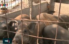 Hiệu quả mô hình nuôi lợn có bảo hiểm tại Đồng Tháp