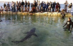 Người dân Australia vẫn đổ xô đến bãi biển xem cá mập