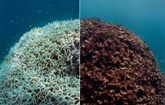 Rạn san hô Great Barrier trải qua đợt tẩy trắng nghiêm trọng nhất trong lịch sử