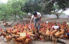 Người chăn nuôi gia cầm lao đao vì rớt giá kéo dài