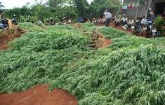 Nghe lời dụ dỗ, người dân trồng cần sa trên đất rẫy để lấy lá... cho gà ăn