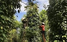 Hồ tiêu Việt Nam mắc kẹt tại Nepal vẫn chưa được tái xuất