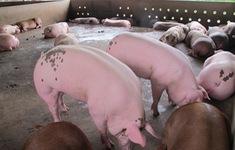 Vì sao giá lợn hơi tăng trở lại, trong khi cơ quan chức năng nói giá sẽ giảm?