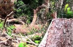 Kiểm tra, xử lý nghiêm các vụ phá rừng ở Phú Yên