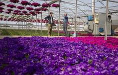 Ngành trồng hoa thất thu do COVID-19