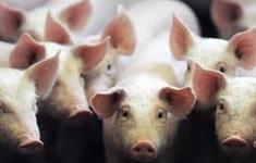 Biến đổi gene ở lợn để tạo nguồn ghép tạng cho người