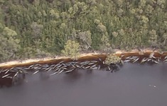 Australia xử lý hơn 350 xác cá voi sau khi kết thúc chiến dịch giải cứu