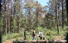 Rừng thông hơn 5.000m2 bị khoan lỗ, đổ hóa chất đầu độc