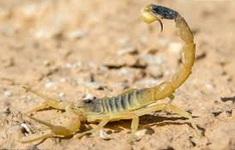 Loại nọc bọ cạp chữa bệnh có giá đắt nhất thế giới - 39 triệu USD/gallon
