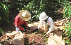 Sản xuất và xuất khẩu cà phê vẫn gặp khó