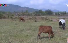 Làm rõ nguyên nhân gia súc chết rét hàng loạt