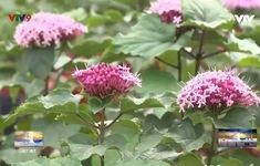 Cúc Hỏa Châu – Giống hoa mới của ông Giáo Tiếp