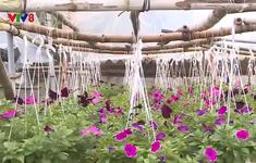 Người dân vùng lũ trồng hoa phục vụ Tết