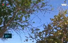 Ngỡ ngàng mùa cây thay lá ở phố biển