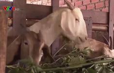 Đắk Nông: Hiệu quả từ mô hình nuôi dê nông hộ