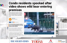 Nhiều vụ lợn rừng công người trong khu dân cư tại Singapore