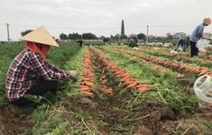 Hải Dương xét nghiệm SARS-CoV-2 cho nông dân, những người vận chuyển, sơ chế thu mua nông sản