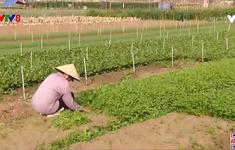 Nghệ An: Hàng trăm tấn rau màu thối rữa vì ế ẩm