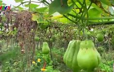 Thanh Hóa: Rau màu được mùa mất giá