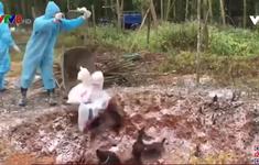 Quảng Nam: Nỗ lực ngăn chặn dịch cúm gia cầm